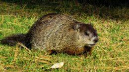 groundhog-1170875_640